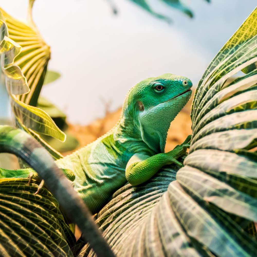 Iguana resting in a bed of ferns